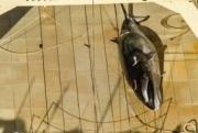 Активисты уличили японских китобоев внарушении закона