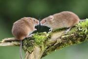 Два австралийских штата готовятся к«мышиной чуме»