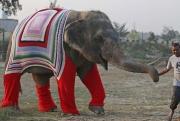 Слонов в Индии одели в разноцветные свитера