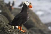 На побережье Аляски вынесло сотни мертвых птиц