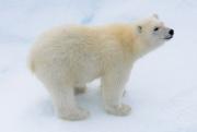 Популяция белых медведей через полвека грозит сократиться на две трети