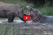 Смертельная битва: носорог против бегемота