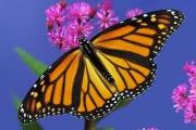 Зимний шторм погубил треть знаменитых бабочек