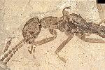 Обнаружен древний таракан, притворявшийся муравьем